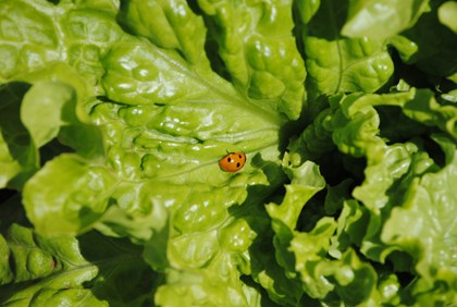 Lady Bug on Salad