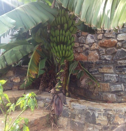 Our Banana tree