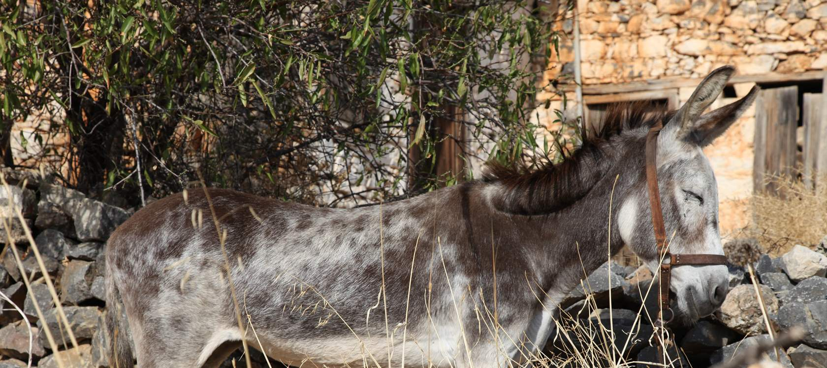 Donkey watching under a carob tree  great sleep